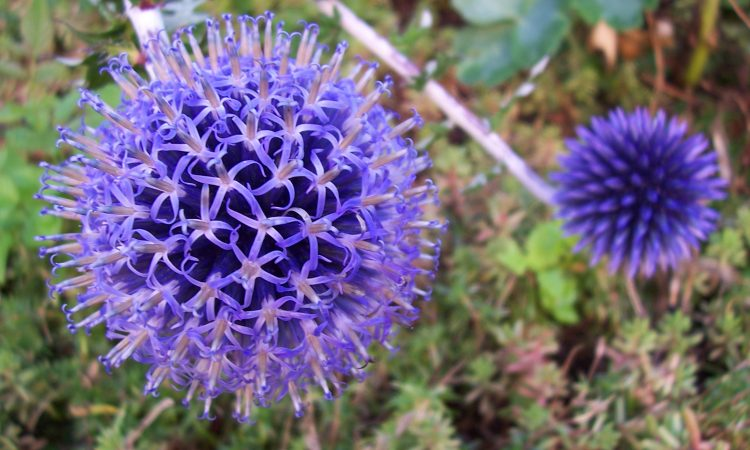 Echinops - Perennial Plant, How to grow