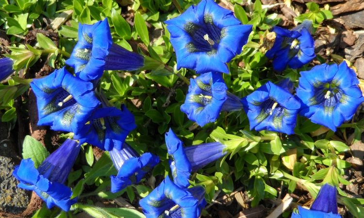 Gentiana - Perennial Plant, How to grow