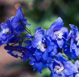 Growing Delphiniums
