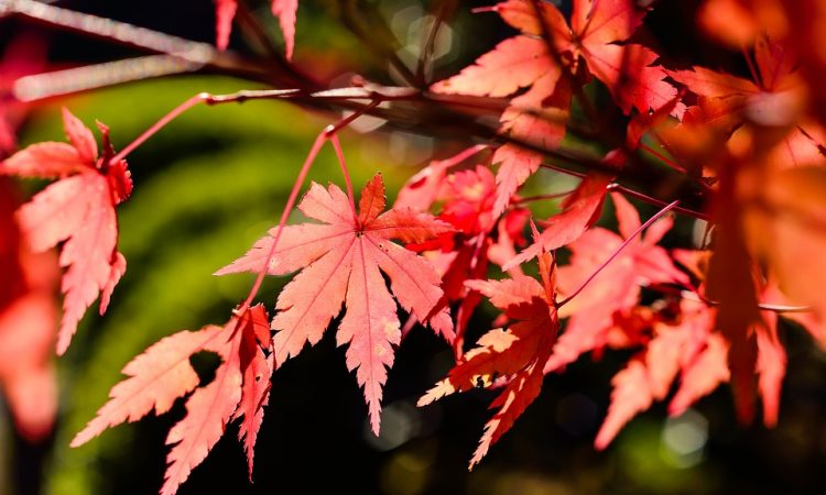 How to Grow Japanese Red Maple Trees from Seed