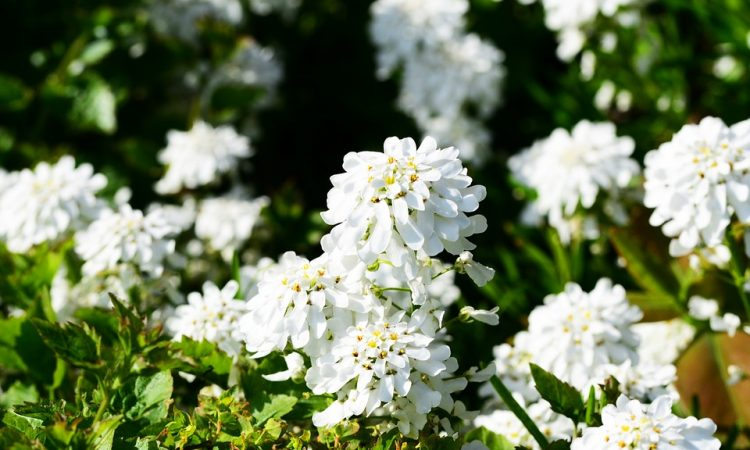 IBERIS - Candytuft, Annual Flower Information