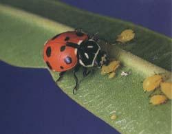 ladybug organic pest control