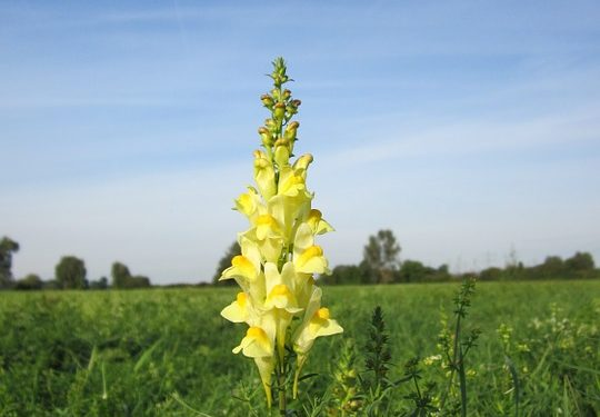 LINARIA  Toadflax, Annual Flower Information