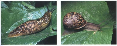 Slugs and Snail