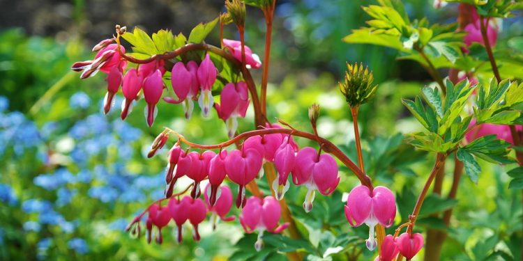 Dicentra and Dielytra - Bleeding Heart, Perennials Guide to Planting Flowers