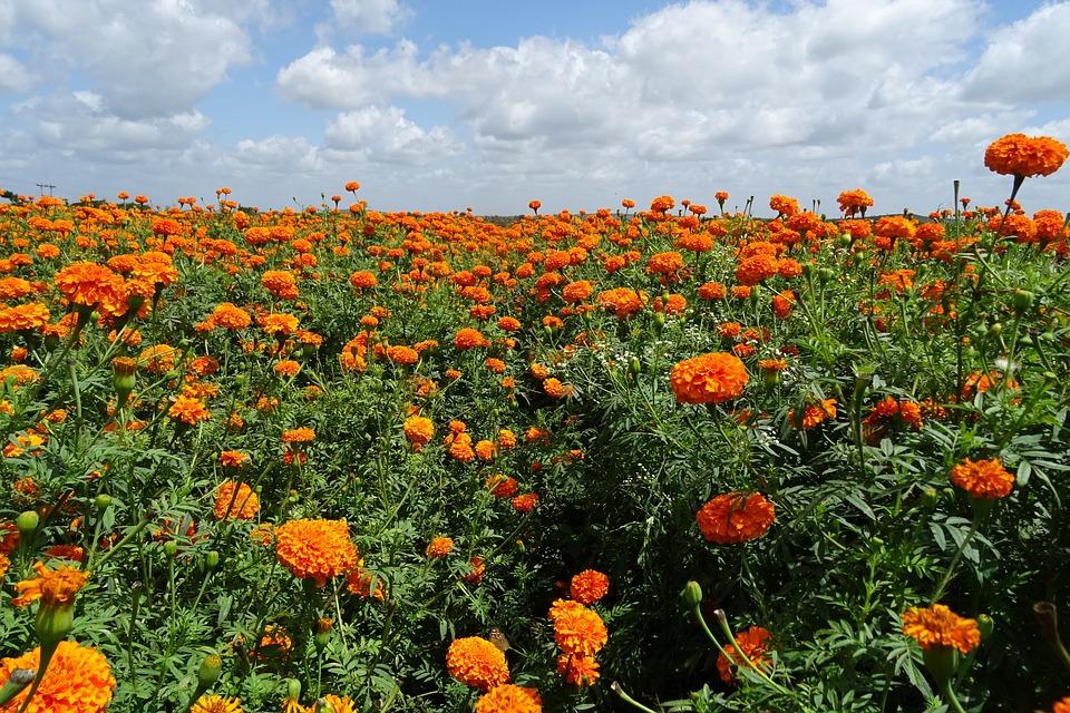 Annual flower