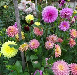 Growing Dahlias as border plant.