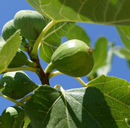 Growing Figs trees in a greenhouse