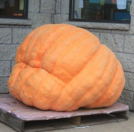 How to grow big pumpkins