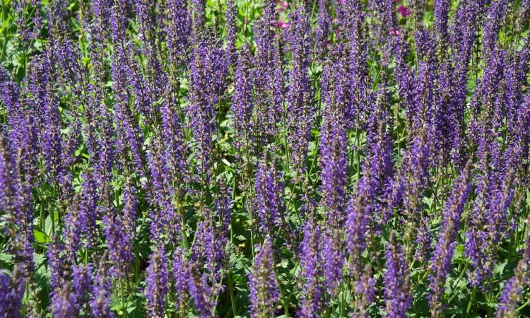 SALVIA -  Sage, Annual Flower Information