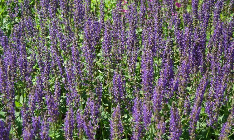 SALVIA -  Sage, Annual Flower Information