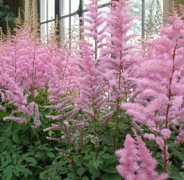 How to grow Astilbe