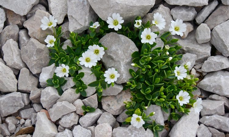 Cerastium - Snow-in-Summer, Mouse-ear Chickweed, Perennials Guide to Planting Flowers