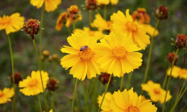 COREOPSIS, Annual Flower Information