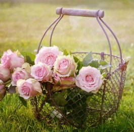 FRESH ROSES - Gardening