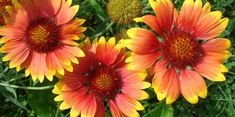Gaillardia - Perennial Plant, How to grow