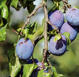 Growing and care for Plum trees