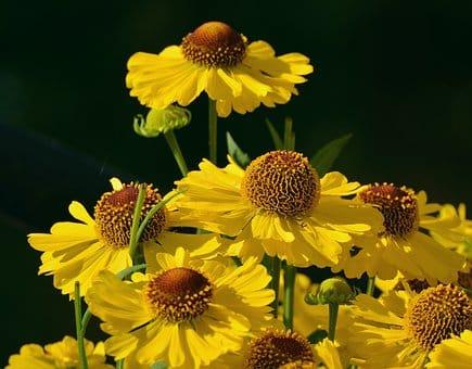 Helenium - Sneezeweed, Helen's Flower,  Perennials Guide to Planting Flowers