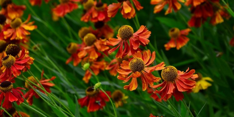 Helenium - Sneezeweed, Helen's Flower,  Perennials Guide to Planting Flowers