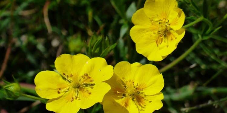 Helianthemum - Perennial Plant, How to grow