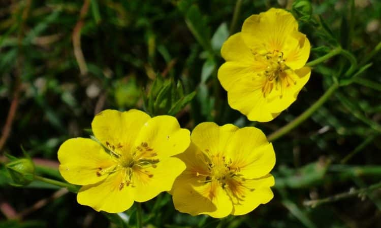 Helianthemum - Perennial Plant, How to grow