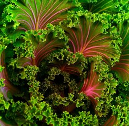How to grow Kale plants with kale seeds