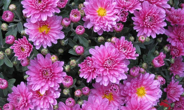 How to Grow, Plant, Water, Propagate, Fertilize a Chrysanthemum plant or Hardy Mum
