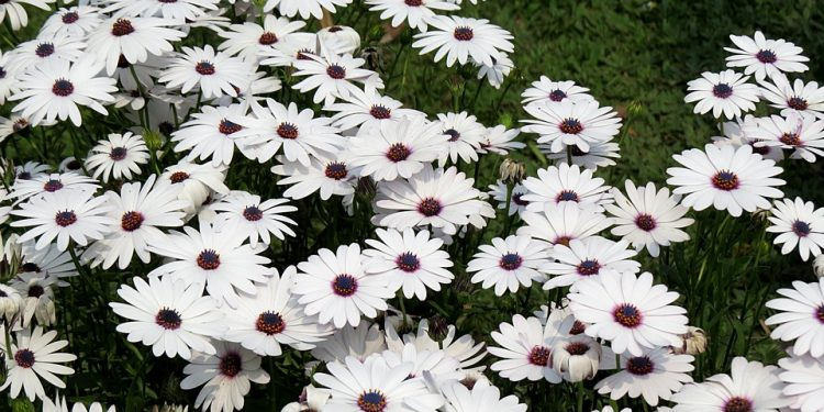 How to grow Pyrethrum - Perennial Plant