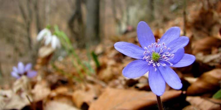 Liverwort - Hepatica - Gardening