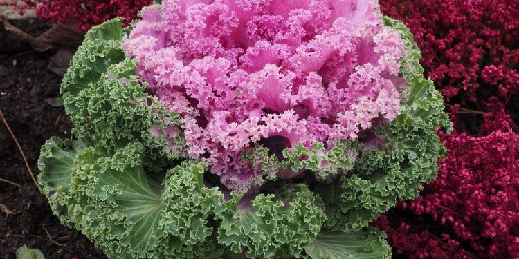 Ornamental Brassica