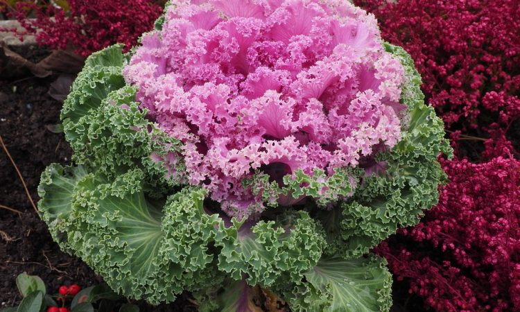 Ornamental Brassica