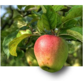 Picking the correct Apple Tree