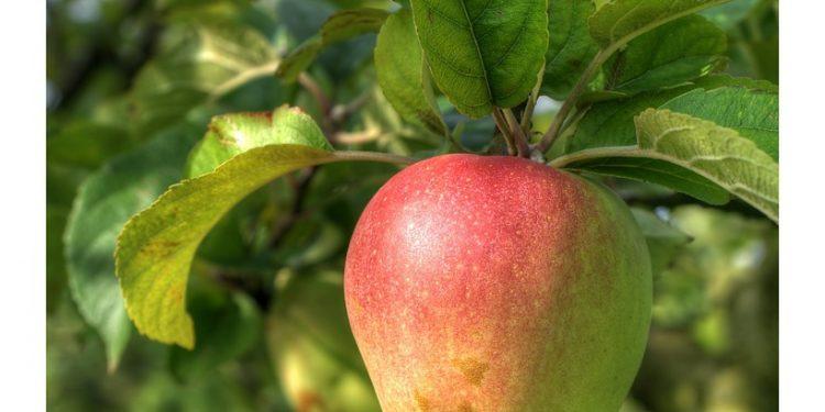 Picking the correct Apple Tree