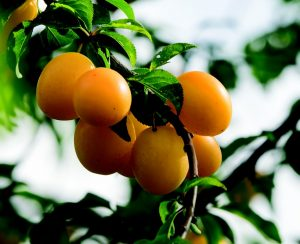 Sweet orange plums
