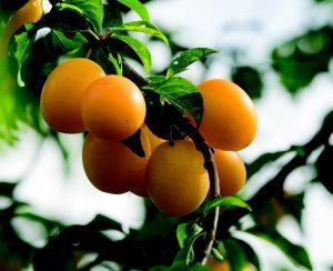 Sweet orange plums