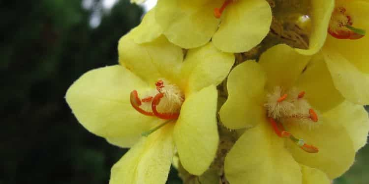 Verbascum - Perennial Plant, How to grow