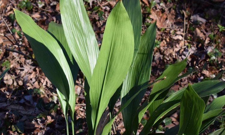 ASPIDISTRA ELATIOR - Parlor Palm, Cast Iron Plant