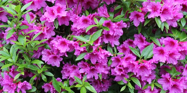 Azalea Growing Care and Pruning Guide