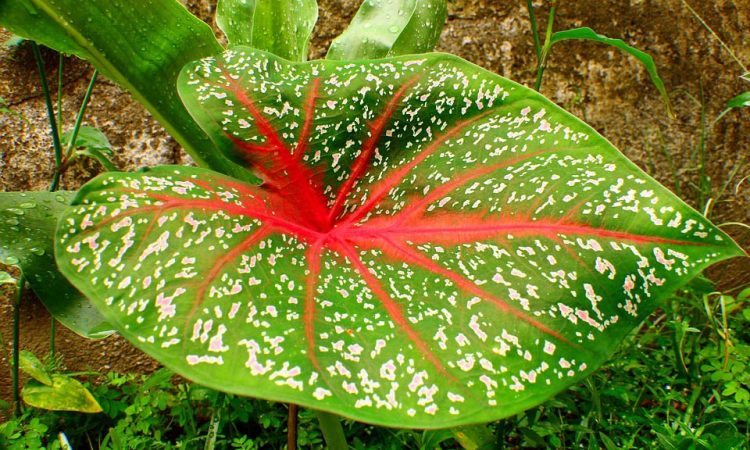 Caladium Tropical plant to grow