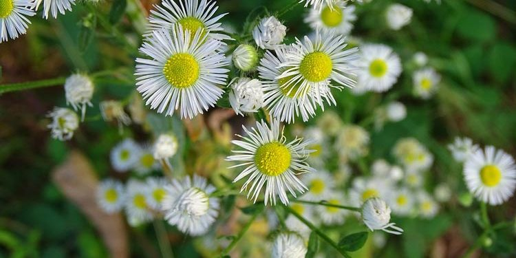 Erigeron - Perennial Plant, How to grow
