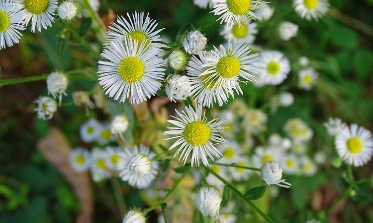 Erigeron - Perennial Plant, How to grow