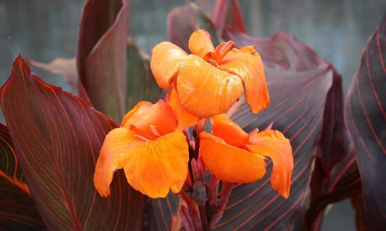 Gardening with Canna or Indian Shot
