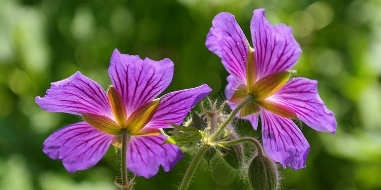 Geranium - Perennial Plant, How to grow