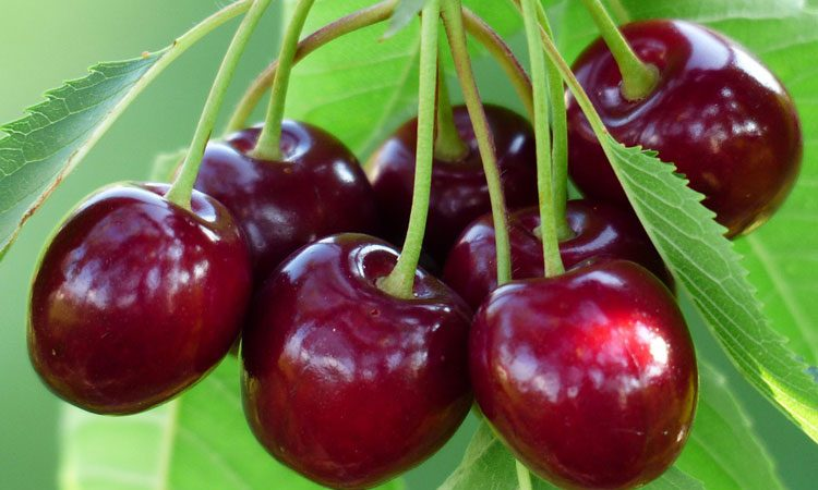 Growing and Care - Cherry Fruit Trees