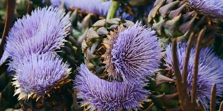 Growing Artichokes for food or garden planting