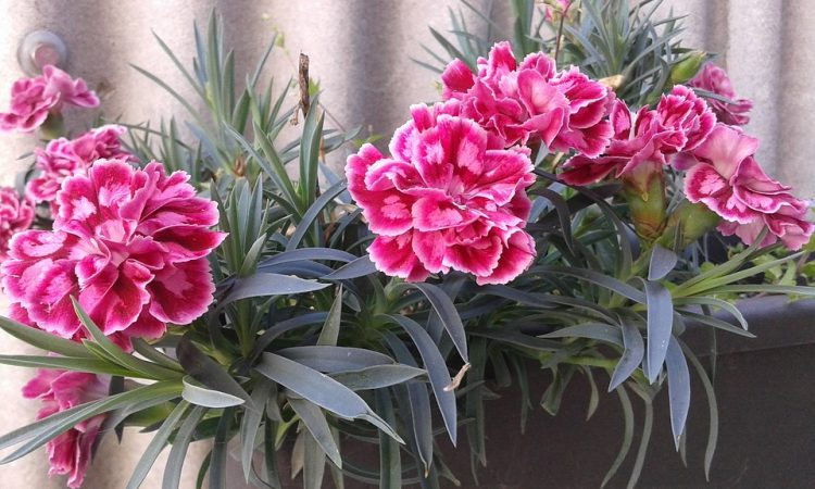 Growing Carnation Guide