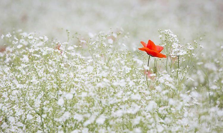 Gypsophila - Perennial Plant, How to grow