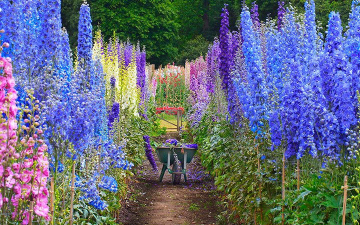 How to grow delphiniums