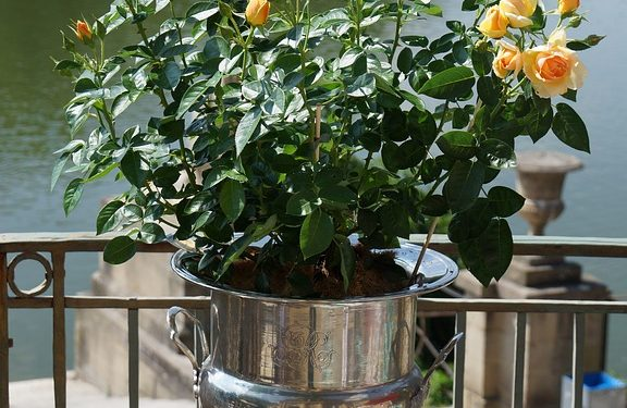 Potted Shrub Roses for Instant Color