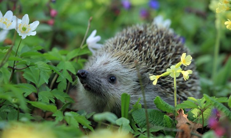 Protect Hedgehogs in Your Garden this Autumn
